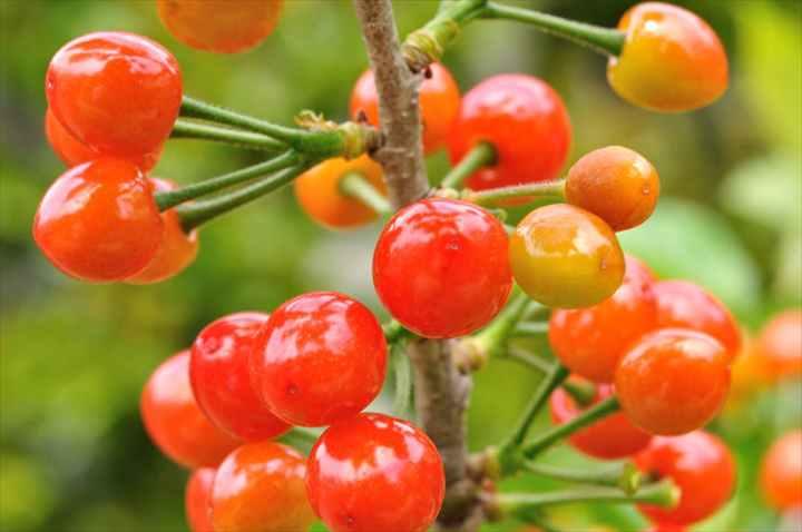 暖地桜桃の植え替えと育て方 | M...